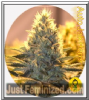 Bulldog Jack Herer Auto Female 5 Marijuana Seeds